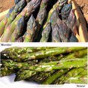 Asparagus Duo (Spring/Autumn Planting) - 8 asparagus crowns - 4 each of Ariane & Mondeo