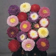 Aster 'Pompon Splendid Mixed' - 1 packet (250 aster seeds)