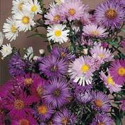 Aster 'Composition' - 1 packet (60 aster seeds)