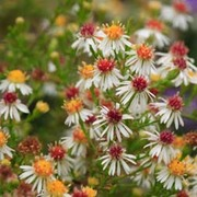 Aster ericoides 'Schneetanne' (Large Plant) - 1 x 1 litre potted aster plant