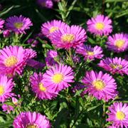 Aster novi-belgii 'Karminkuppel' (Large Plant) - 1 x 1 litre potted aster plant