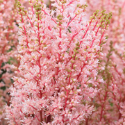 Astilbe x arendsii 'Look at Me' - 3 bare root astilbe plants