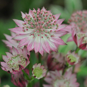 Astrantia major 'Roma' (Large Plant) - 1 x 1 litre potted astrantia plant