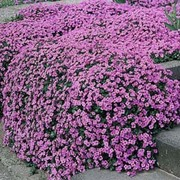 Aubrieta 'Purple Cascade' F1 Hybrid - 1 packet (150 aubretia seeds)