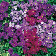 Aubrieta 'Royal Mixed' - 36 aubretia plug plants