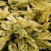 Aucuba japonica 'Crotonifolia' (Large Plant) - 1 x 2.5 litre potted aucuba plant