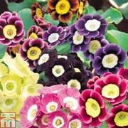 Auricula 'Mixed' - 5 auricula jumbo plug plants