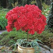 Azalea 'Japanese Red' - 1 standard azalea plant (60-80cm tall)