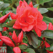 Azalea 'Dwarf Red' - 1 x 9cm potted azalea plant