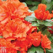 Azalea 'Dwarf Orange' - 1 x 9cm potted azalea plant