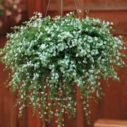 Bacopa 'Snowtopia' - 24 bacopa plug plants