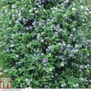 Bacopa 'Topia Series' (Garden Ready) - 30 bacopa garden ready plants
