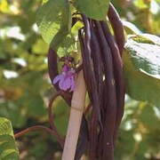 Climbing Bean 'Blauhilde' - 1 packet (75 climbing bean seeds)