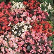 Begonia semperflorens 'Options Mixed' - 1 packet (750 begonia seeds)