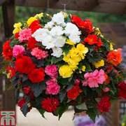 Begonia x tuberhybrida 'Non-Stop® Mixed' F1 Hybrid - 1 packet (30 begonia seeds)