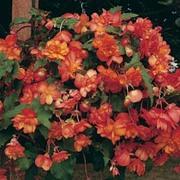 Begonia x tuberhybrida 'Chanson Orange & Yellow Bicolour' F1 Hybrid - 1 packet (30 begonia seeds)