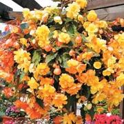 Begonia x tuberhybrida 'Apricot Shades Improved' F1 Hybrid - 1 packet (15 begonia seeds)