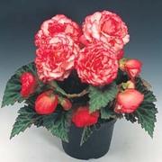 Begonia x tuberhybrida 'Nonstop® Rose Petticoat' F1 Hybrid - 1 packet (25 begonia seeds)