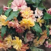 Begonia x tuberhybrida 'Show Angels Mixed' F1 Hybrid - 1 packet (40 begonia seeds)