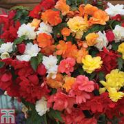 Begonia x tuberhybrida 'Illumination Mixed' - 36 begonia plug plants + 100g of begonia fertiliser