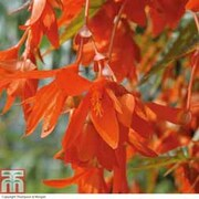 Begonia 'Inferno'™ - 5 begonia jumbo plug plants