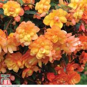 Begonia x tuberhybrida 'Apricot Shades Improved' F1 Hybrid - 1 packet (15 begonia seeds)