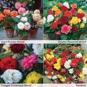 Begonia x tuberhybrida 'Bumper Pack' - 40 begonia tubers - 10 of each variety