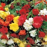 Begonia 'Pendula' Mix - 10 begonia tubers