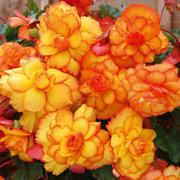 Begonia 'Cascading Fireball' - 10 begonia tubers