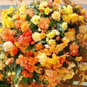 Begonia x tuberhybrida 'Apricot Shades Improved' F1 Hybrid - 2 begonia ready-planted baskets