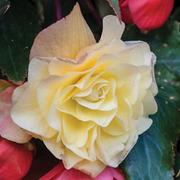 Begonia 'Fragrant Falls Improved™ - Lemon Fizz' - 4 begonia jumbo plug plants