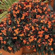 Begonia 'Glowing Embers' - 3 begonia jumbo plug plants
