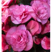 Begonia 'Rosebud Tutu' - 3 begonia jumbo plug plants