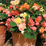 Begonia 'Scentsation Mixed' - 48 begonia plug plants