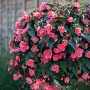 Begonia 'Love Birds' - 3 begonia jumbo plug plants