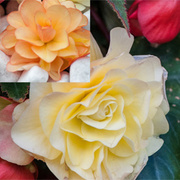 Begonia 'Fragrant Falls Improved'™ Collection - 16 begonia jumbo plug plants - 8 of each variety