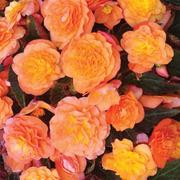 Begonia 'Peardrop' - 3 begonia Postiplug plants