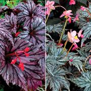 Begonia 'Garden Angels Collection' - 4 begonia jumbo plug plants