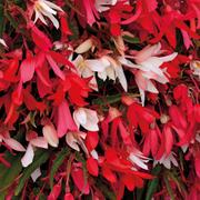 Begonia 'Starshine Mixed' - 24 begonia plug plants