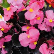 Begonia semperflorens 'Organdy Pink' F1 Hybrid - 36 begonia plug plants