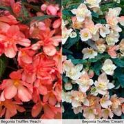 Begonia 'Truffles' Collection - 10 begonia plug plants