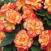 Begonia 'Sunburst' (Garden Ready) - 30 begonia garden ready plants