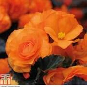 Begonia 'Non-Stop Mocca Bright Orange' - 36 begonia plug plants