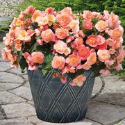 Begonia 'Fortune Peach Shades' - 36 begonia plug plants