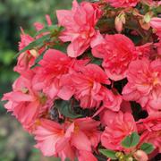 Begonia 'Northern Lights Pink Burst' - 4 begonia jumbo plug plants