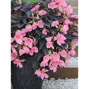 Begonia 'Cocoa Enchantment' - 10 begonia jumbo plug plants