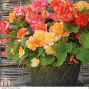 Begonia x tuberhybrida 'Apricot Shades Improved' F1 Hybrid (Pre-planted Pot) - 1 x begonia pre-planted pot + 100g pack of incredibloom®