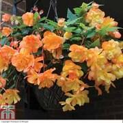 Begonia x tuberhybrida 'Apricot Shades Improved' F1 Hybrid (Pre-planted Basket) - 1 x begonia pre-planted basket + 100g pack of incredibloom®
