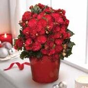 Begonia 'Grace' - Gift - 1 x Begonia 'Grace'