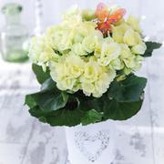 Begonia 'Frilly Daisy' - Gift - 1 x Begonia 'Frilly Daisy'
